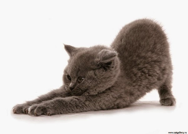 Photo chatton british shorthair