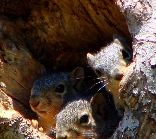 3 squirrels © Lisa A. Nicholas 2014