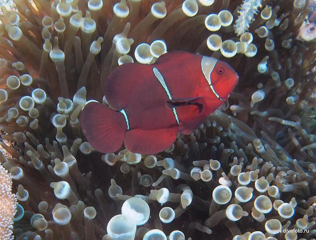 Красный anemon fish
