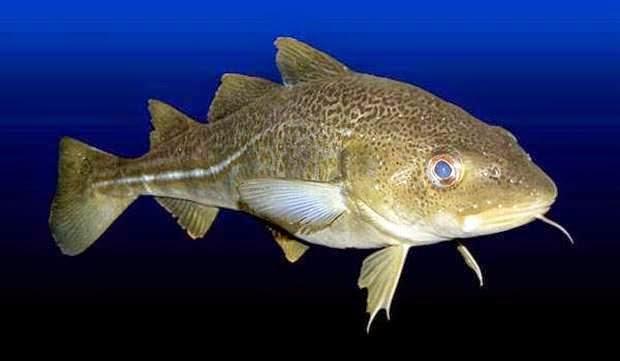 Ikan Kod Antartika