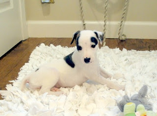 Whippet Puppy Picture