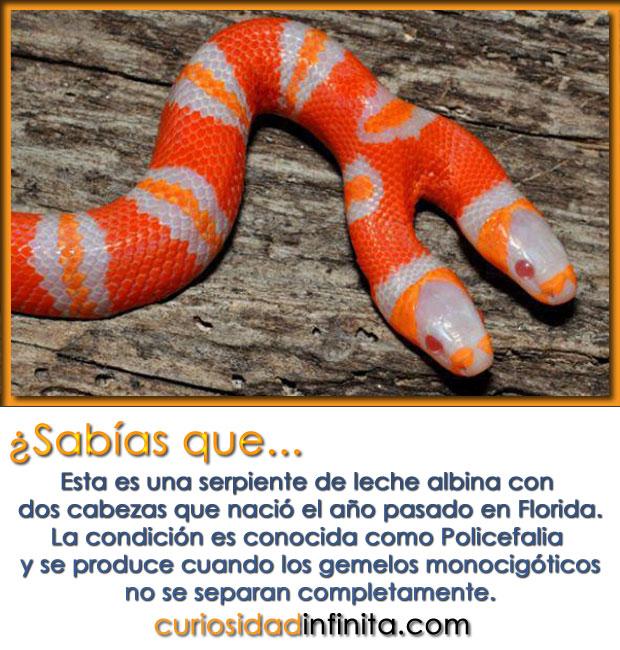 serpiente albina con dos cabezas, culebra alimentandose