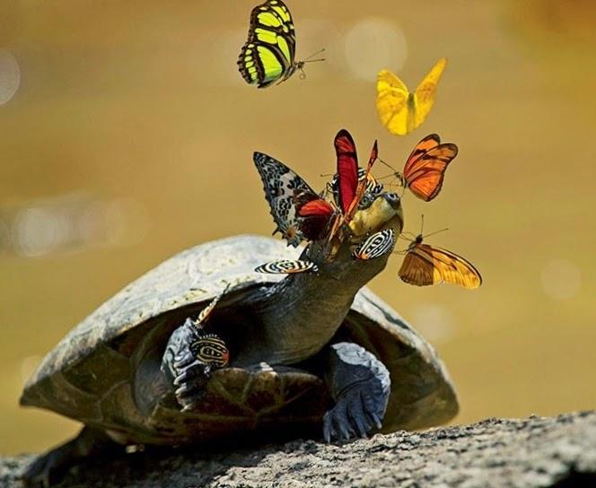 Le nature est poétique: les papillons boivent les larmes* des tortues