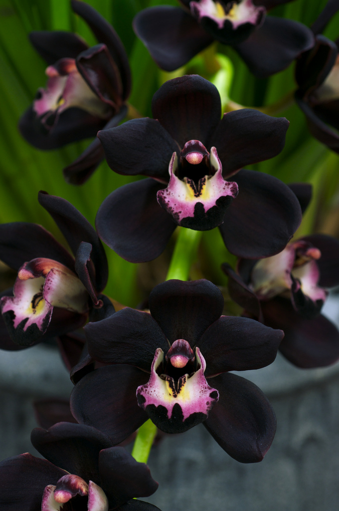 Adorable beautiful Cymbidium Kiwi Midnight orchid