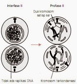 Tahap metafase II dan profase II