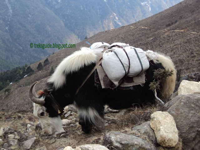 Yak, means of transportaion