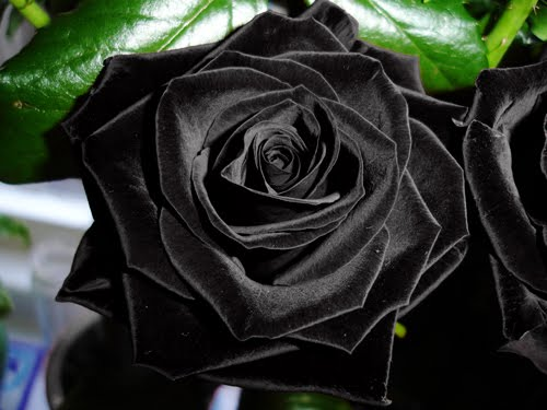 For centuries black tulips and black roses appear to originate