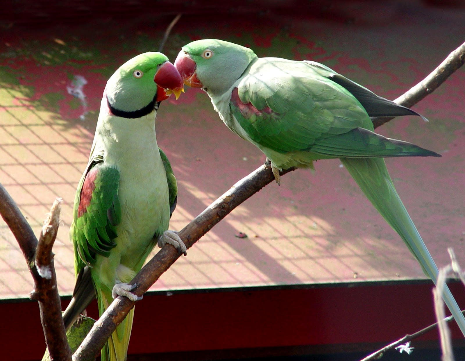 All About Birds: Beautiful and Excellent Pets- Alexandrine ...