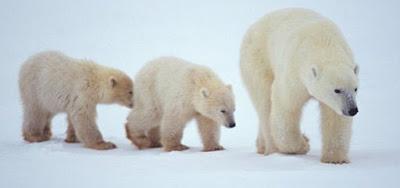 Beruang Berjalan