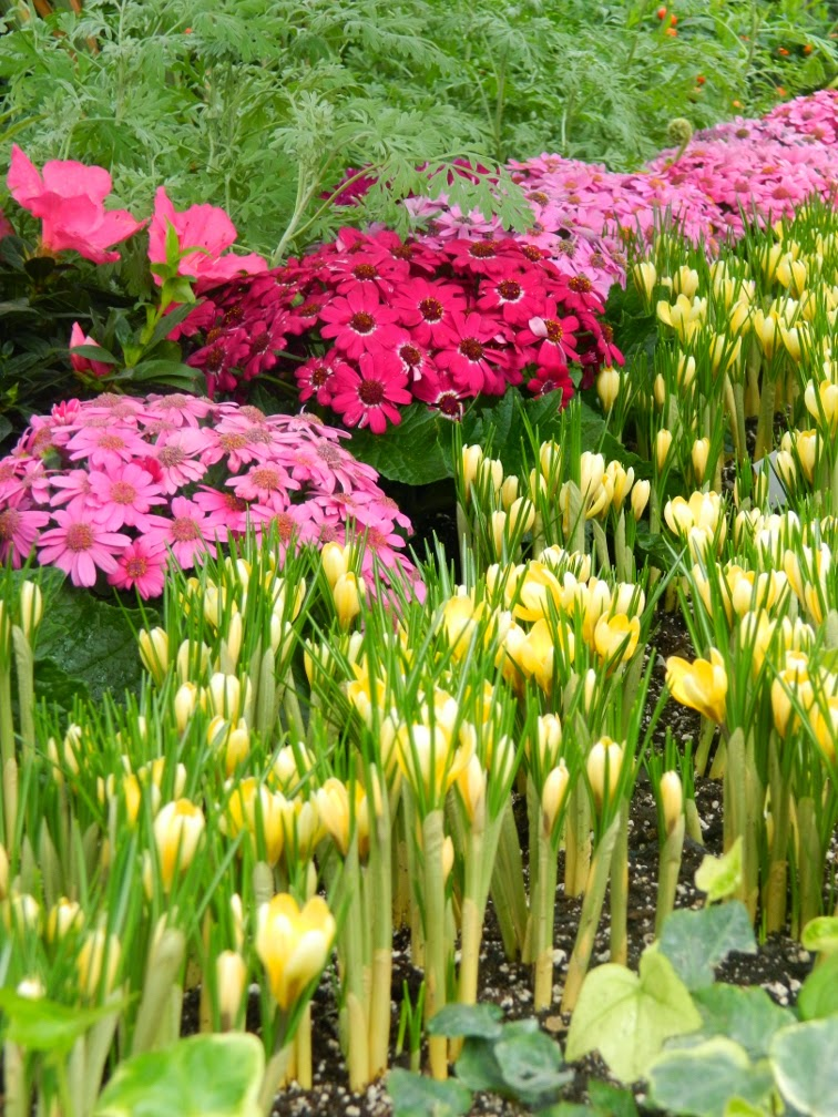 Yellow crocus Florist's cineraria Allan Gardens Conservatory Spring Flower Show 2014