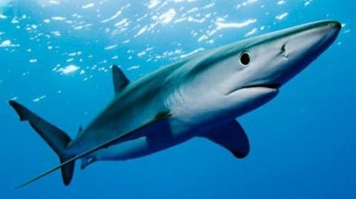*tiburón azul