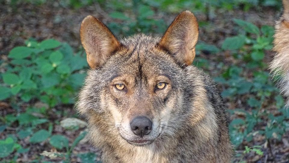 O lobo e a gandería extensiva