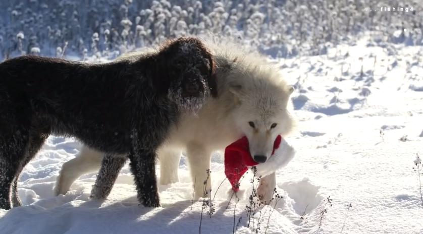 White Wolf : Toy Thief...