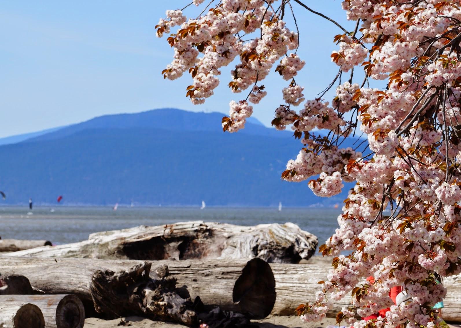 сакура на фоне океана и гор