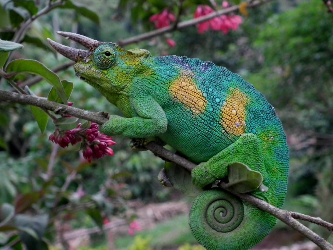 Male jackson chameleon - photo#9