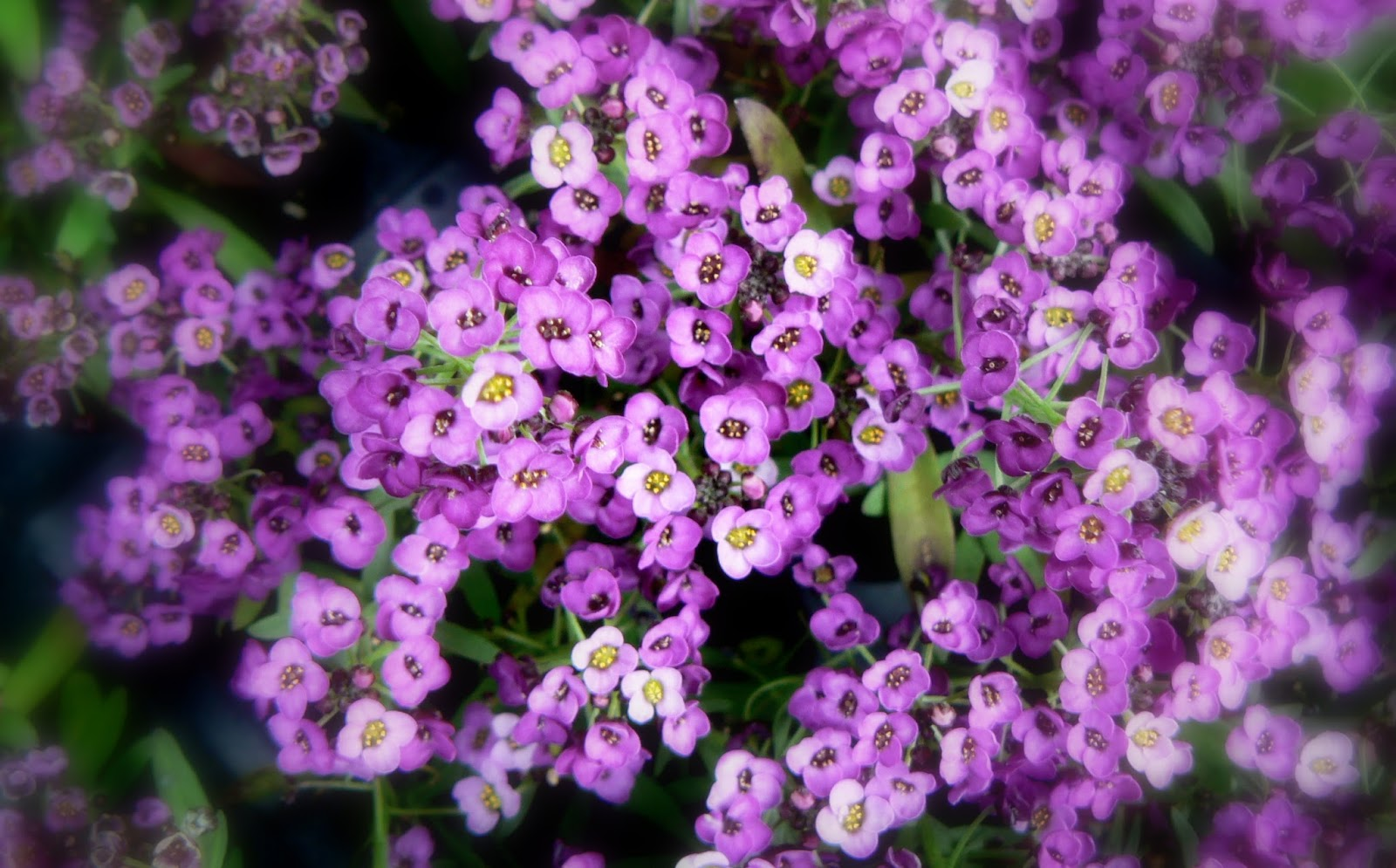 Romantic Flowers Alyssum Flower