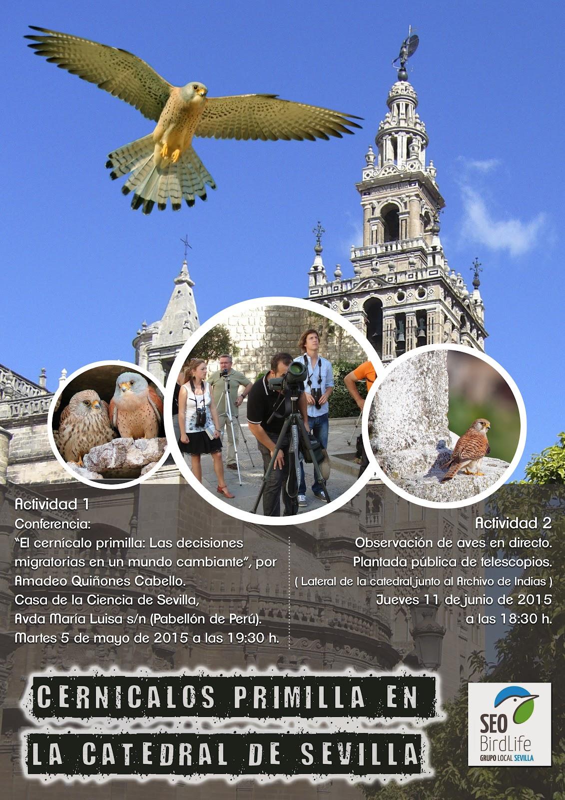 CERNÍCALOS PRIMILLA EN LA CATEDRAL DE SEVILLA. Observación de aves en directo celebrando el Día Mundial del Medio Ambiente