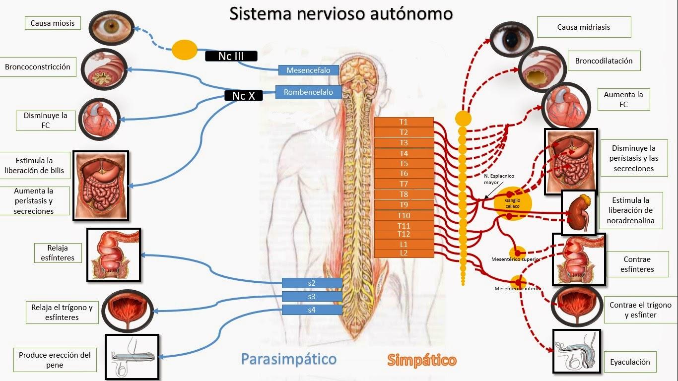 Magnífico Simpática Del Sistema Nervioso Anatomía Fotos - Anatomía ...