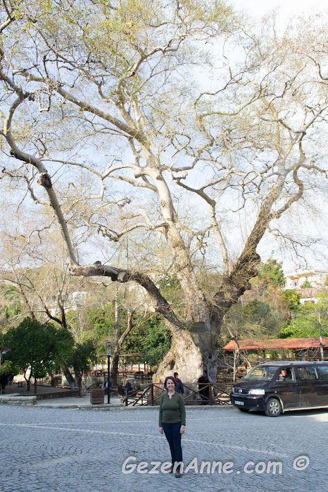 anıt çınar ağacı Musa Ağacı önünde, Hıdırbey Köyü Samndağ Hatay