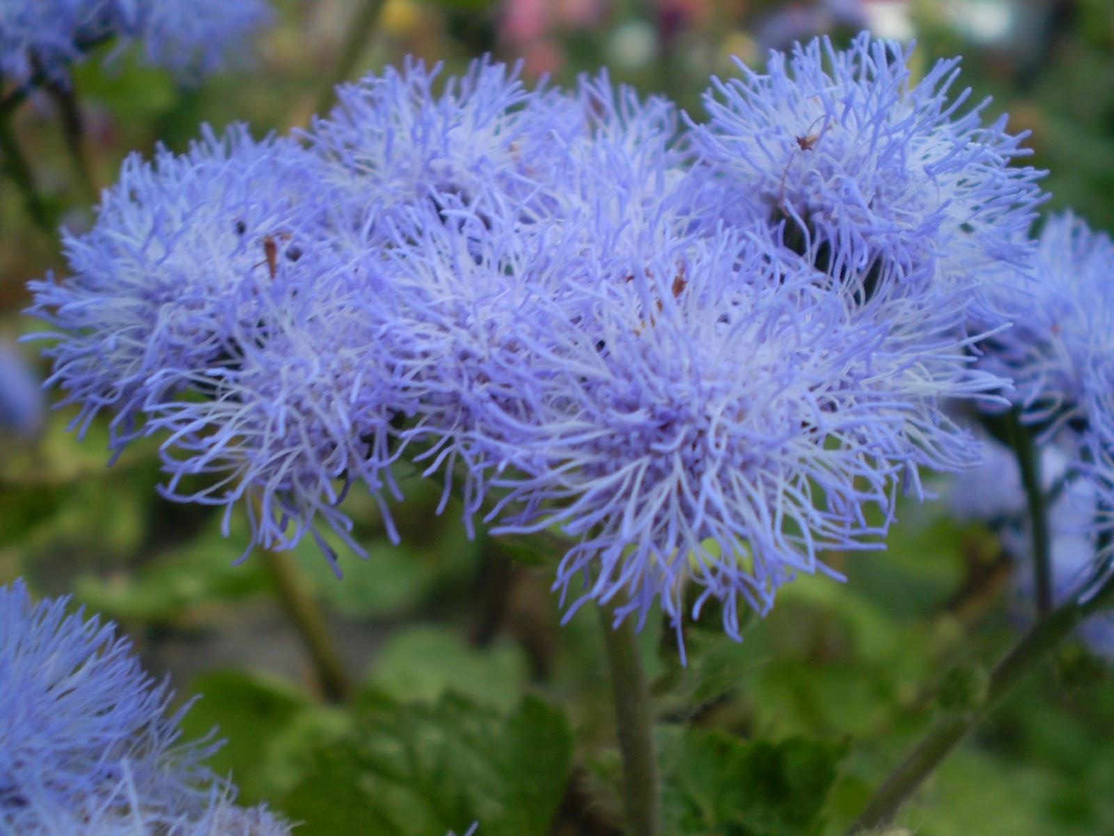 42 растения с синими цветками Дизайн участка (Огород. ru) 9