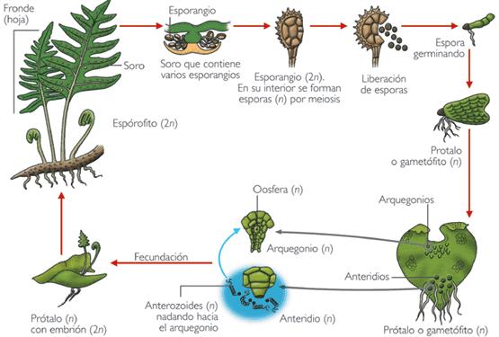 Reproducir helechos por esporas - Cuidados de los helechos ...