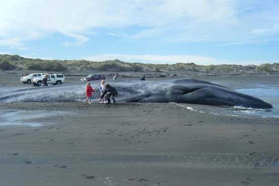 Largest Marine Sea Creatures Out There Blue Whale