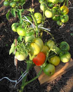 Отсаженные безрассадные помидоры сорта Толстый Джек успевают за лето дать неплохой урожай