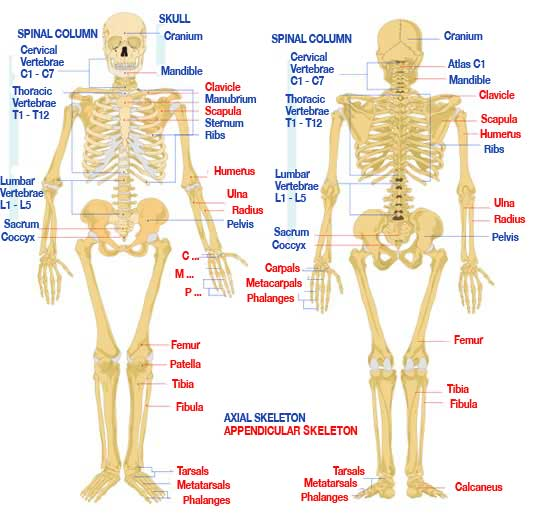 Human Skeleton Bbc Bitesize Human Anatomy Diagram Picture
