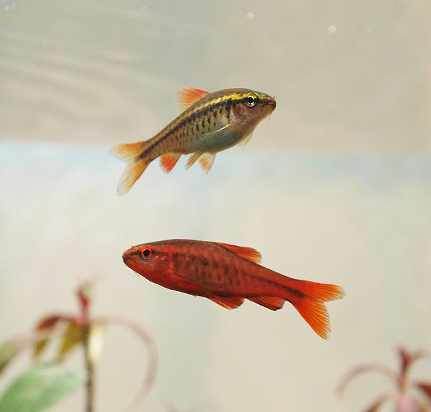 Fish Pictures: Cherry barb - Puntius titteya