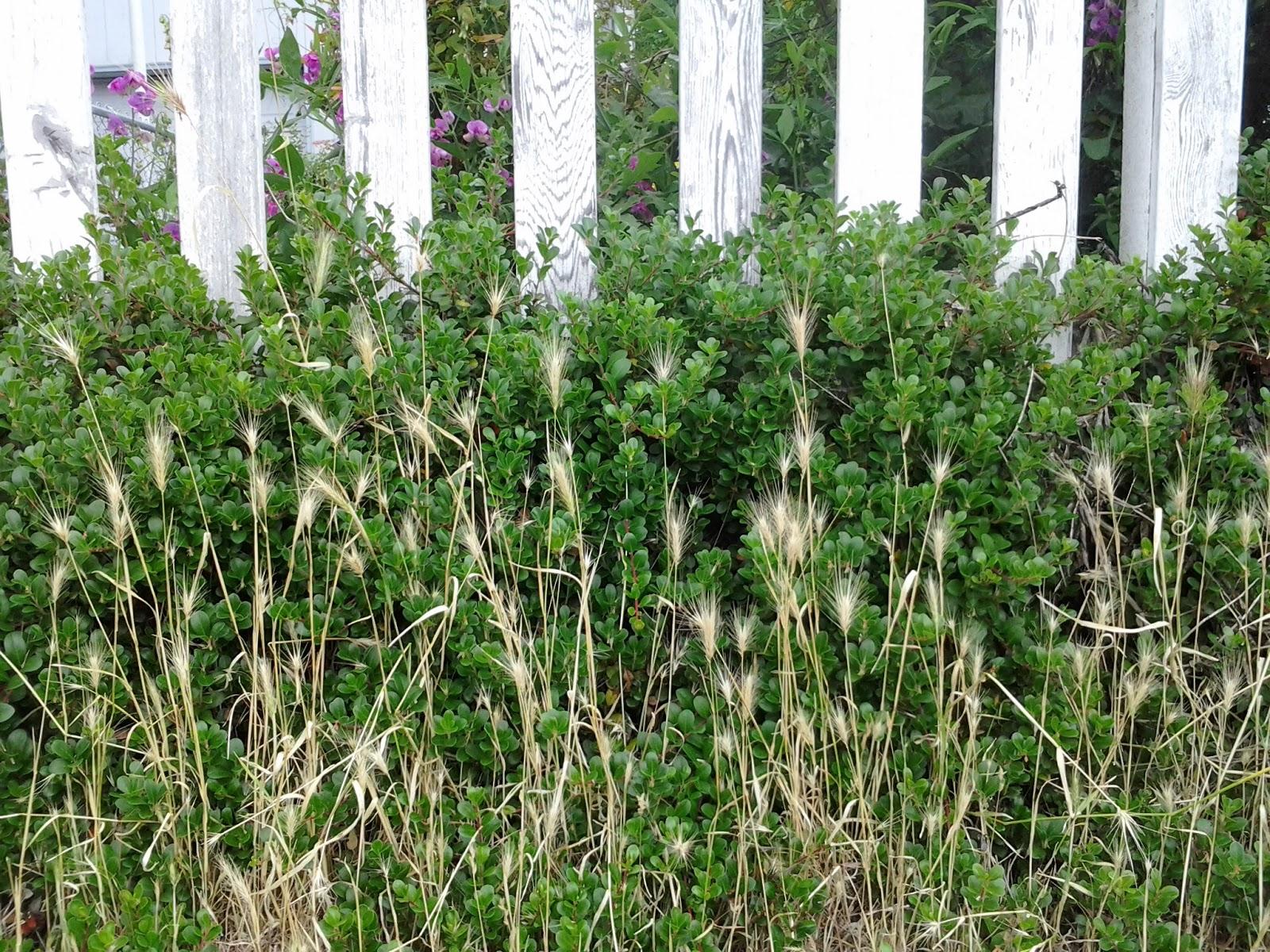 wild lettuce seeds