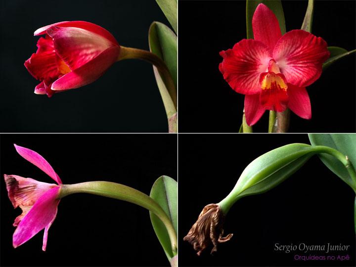 Formação de uma cápsula de sementes de orquídea