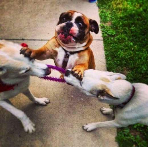 كلب يحاول فض مشاجرة بين كلبين
