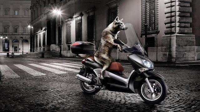 dog, driver, moto