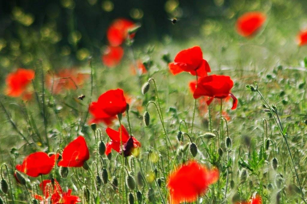 természet, virágok, vadvirágok, tavasz, vetési pipacs