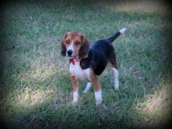 Barney the Beagle