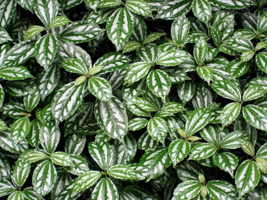 Ch cara flora rohn plantas ornamentais paisagismo for Plantas decorativas resistentes