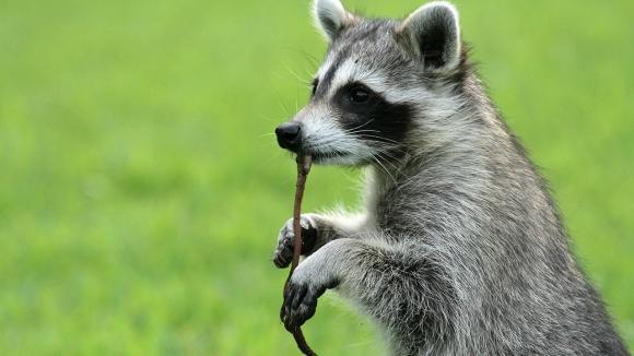 raccoon backyard bandit daily tv shows for you