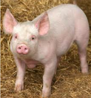 kode+babi+dalam+makanan.PNG