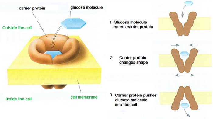 19 Active transport | Biology Notes for IGCSE 2014