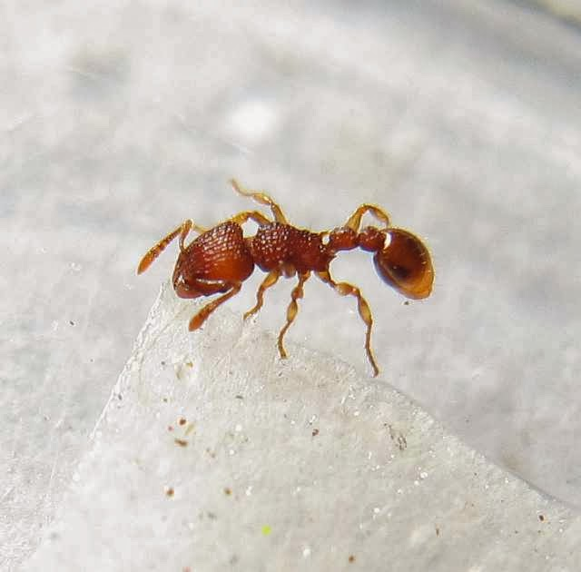 Worker of Tetramorium sp. ant