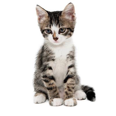 Mininos muy lindos o gatitos tiernos
