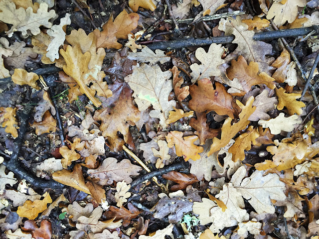 Oak leaves on the ground on Hayes Common, 27 October 2015.