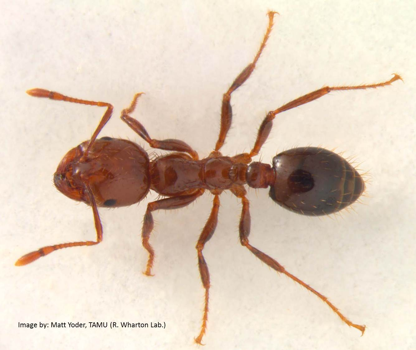 fire ants Find out what fire ants and their nests look like, and how they affect humans includes a link to a photo gallery of fire ants.