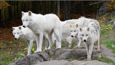 Chó có nguồn gốc từ sói nhưng sói không có tình cảm với người