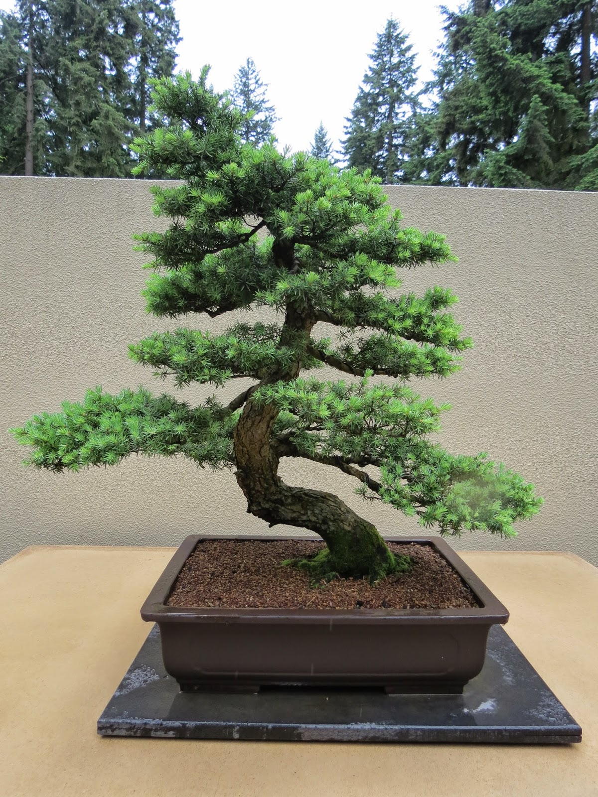 The Practical Plant Geek Pacific Rim Bonsai Collection