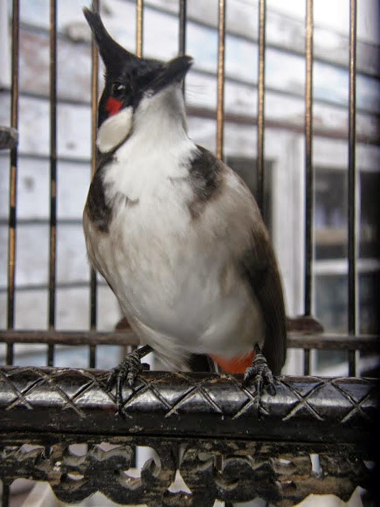 Foto Burung Kutilang Sumatera Terbaik