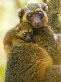 El Lemur Dorado (Hapalemur aureus)