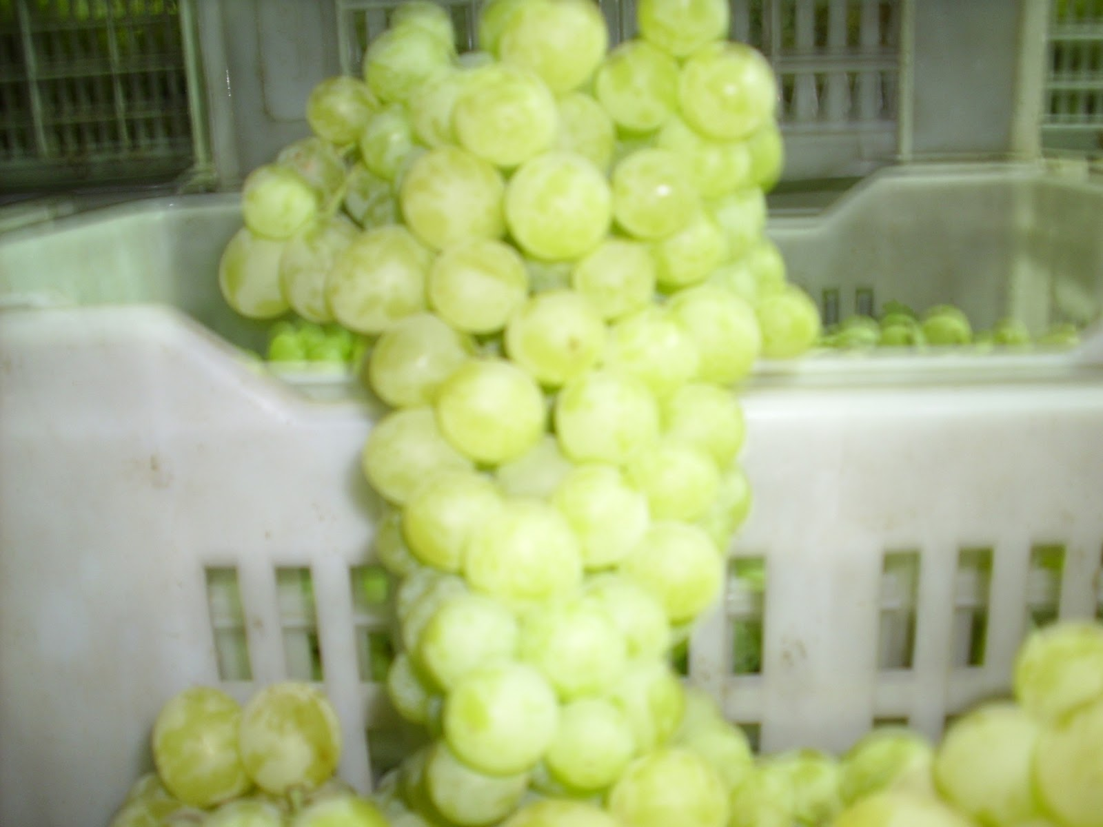 egyptian_grapes_suppliers