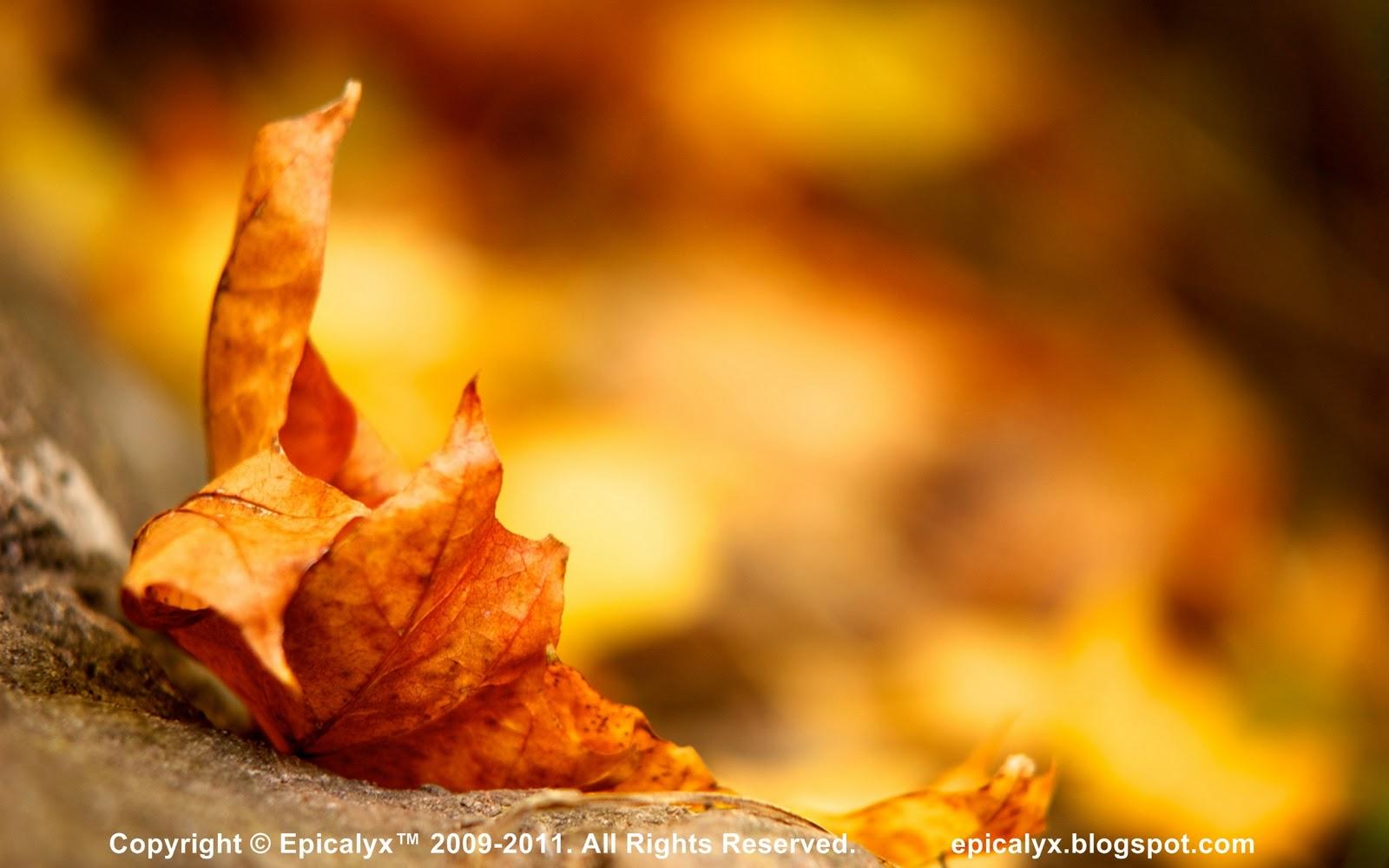 http://3.bp.blogspot.com/-8M5FvTP0nHw/TsDUH-JRJhI/AAAAAAAAAKQ/SJa5SZzy8s0/s1600/Dry+Maple+Leaf.jpg