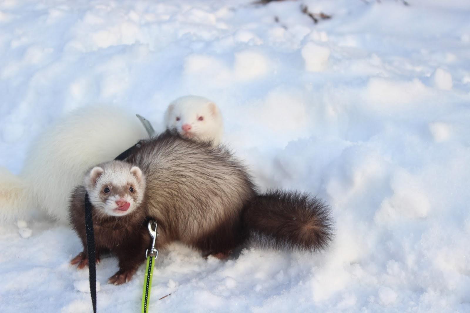 Ferrets outside fretit ulkona lenkillä
